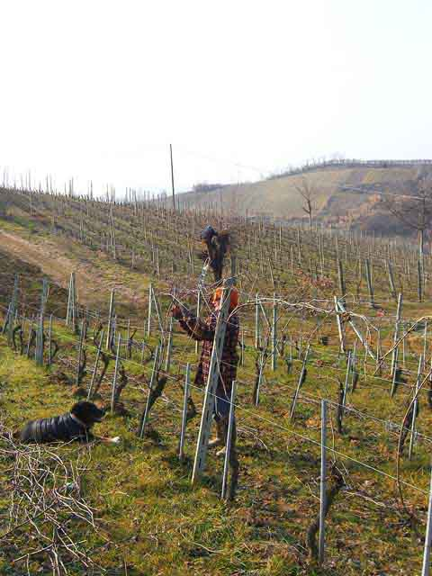 Stipping the old growth from Barbera d'Asti vineyard