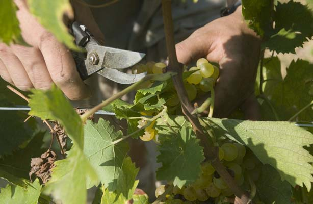 harvesting our moscatio grapes
