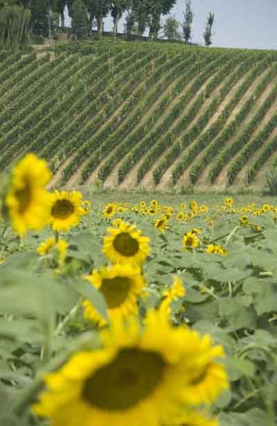 typical roadside view of sunflowers and vines
